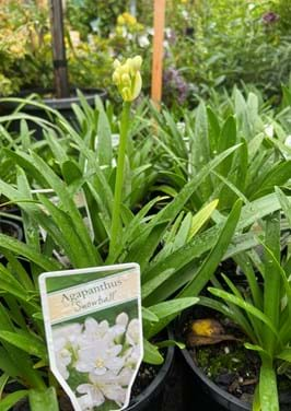 Poyntons plant and garden centre|easter sale, sale, agapanthus, snowball, shrubs