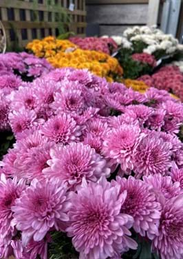 Poyntons plant and garden centre| Chrysanthemums, potted flowers, Mother's Day