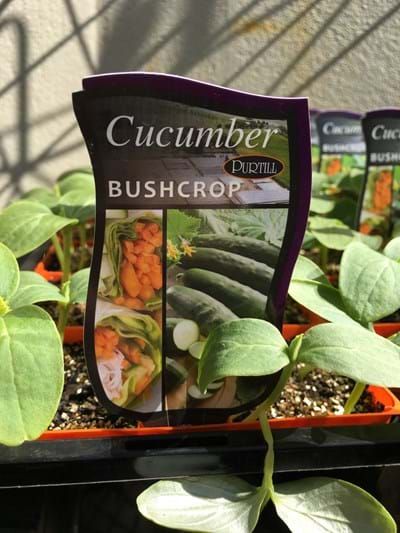 Cucumber - Bush Crop