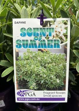 Poyntons plant and garden centre| Daphne, scent of summer