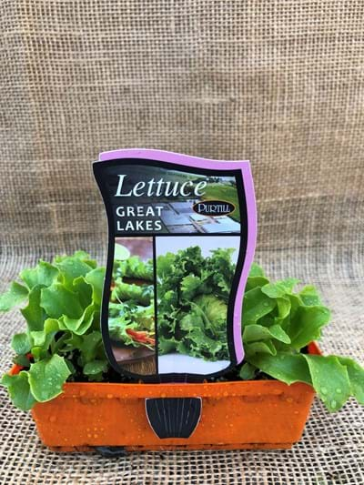 Lettuce - Great Lakes