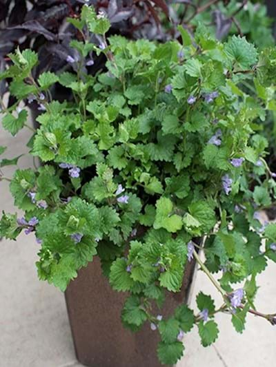 Glenchoma - Creeping Greenie - 14cm pot