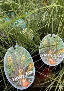 Poyntons plant and garden centre|easter sale, sale, Lomandra, frosty top, grass