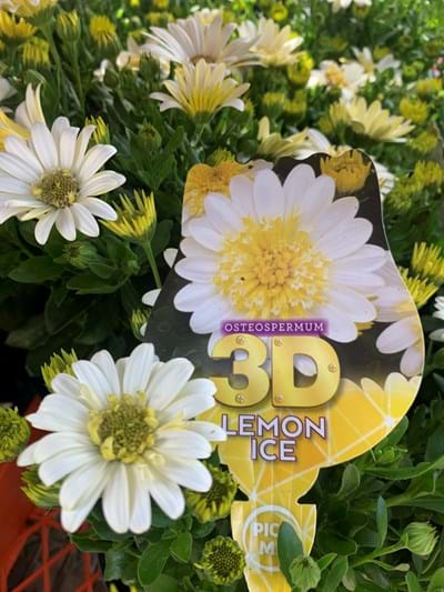 Osteospermum - 3D Lemon Ice - 14cm pot