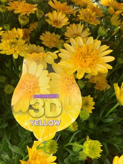 Osteospermum - 3D Yellow - 14cm pot