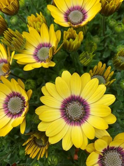 Osteospermum - Blue Eyed Beauty 14cm pot