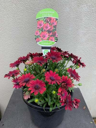 Osteospermum - Zion Red 20cm pot