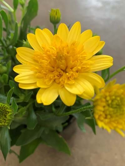 Osteospermum - Yellow 14cm pot