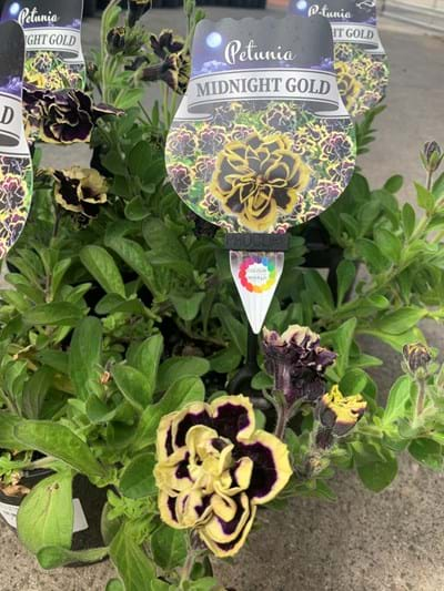 Petunia - Midnight Gold - 14cm pot